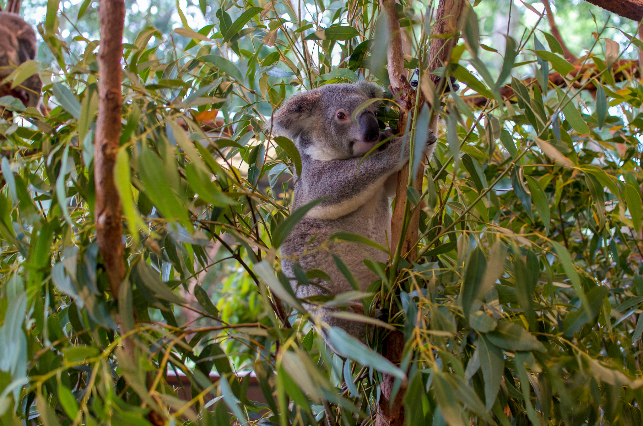 Koala hiding partially hidden behind eucalyptus leaves, holding onto a branch
